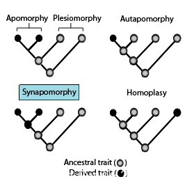 Difference Between Synapomorphy and Symplesiomorphy l Synapomorphy vs Symplesiomorphy