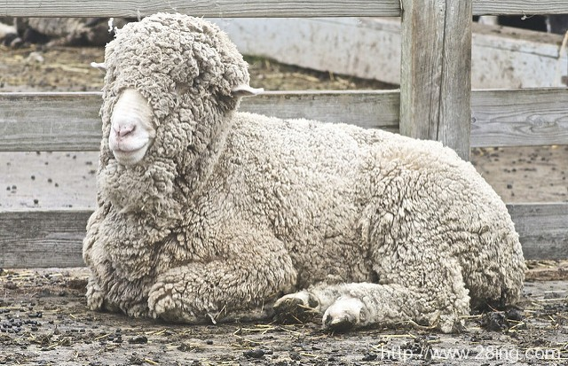 Difference Between Wool and Merino Wool l Wool vs Merino Wool