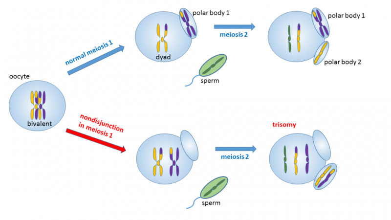 Difference Between Trisomy and Triploidy l Trisomy vs Triploidy