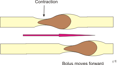 Difference Between Peristalsis and Segmentation | Peristalsis vs Segmentation