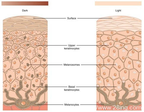 Difference Between Keratinocytes and Melanocytes | Keratinocytes vs Melanocytes