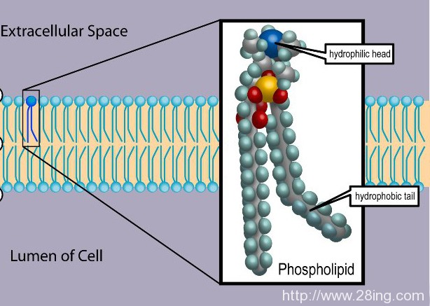 Difference Between Phospholipids and Sphingolipids l Phospholipids vs Sphingolipids