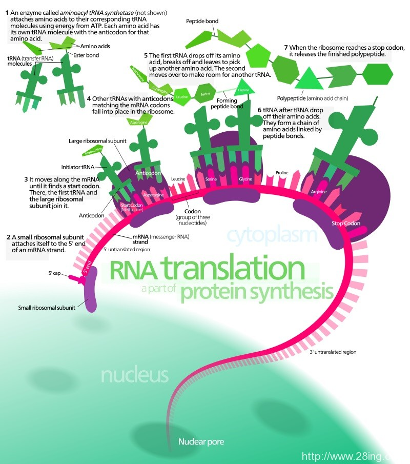 Difference Between Transcription and Translation l Transcription vs Translation