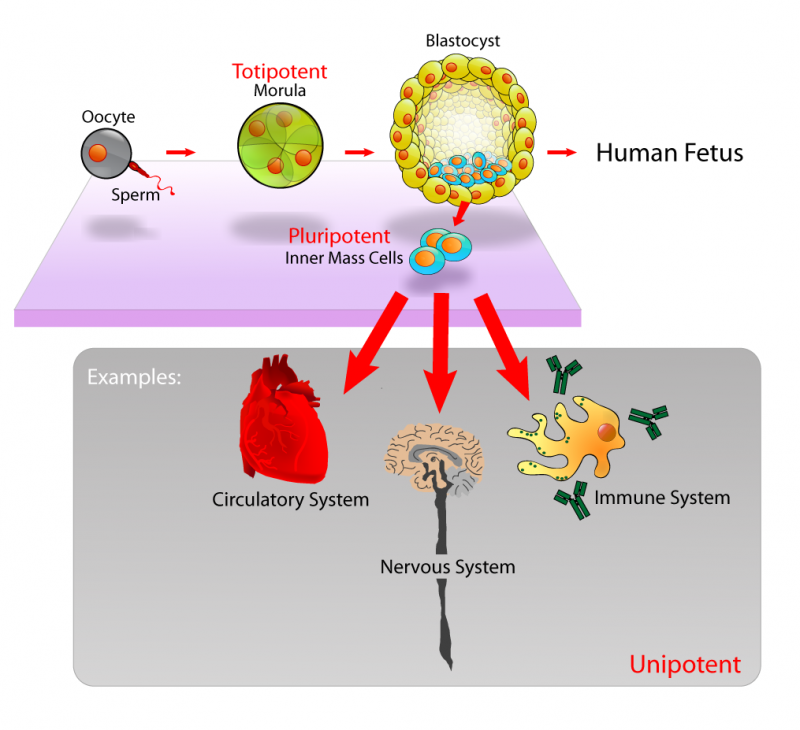 Difference Between Fetal and Embryonic Stem Cells | Fetal vs Embryonic Stem Cells