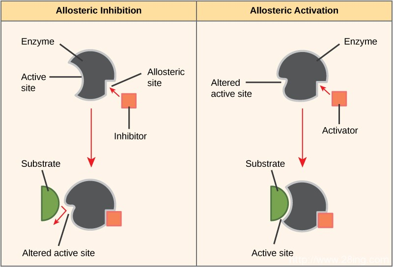 Difference-Between-Enzyme-Activator-and-Enzyme-Inhibitor-Enzyme-Activator-vs-Enzyme-Inhibitor