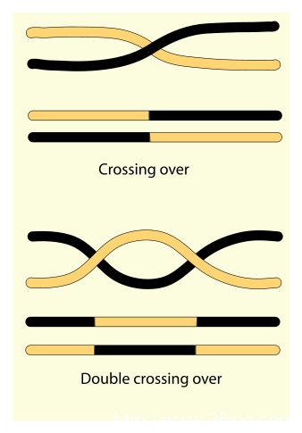 Difference Between Recombination and Crossing Over | Recombination vs Crossing Over