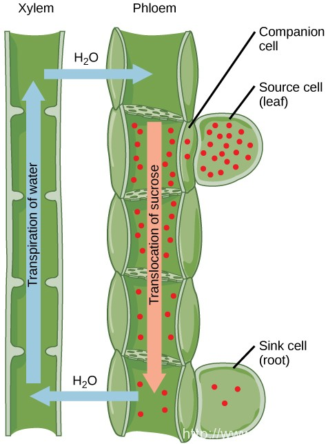 Difference Between Sieve Tubes and Companion Cells | Sieve Tubes vs Companion Cells
