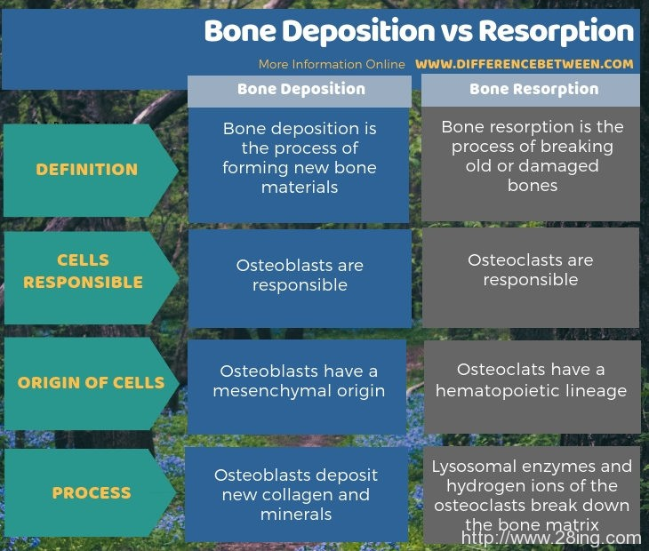 Difference Between Bone Deposition and Resorption | Bone Deposition vs Resorption