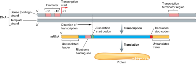 Difference Between Gene and Protein   Gene vs Protein