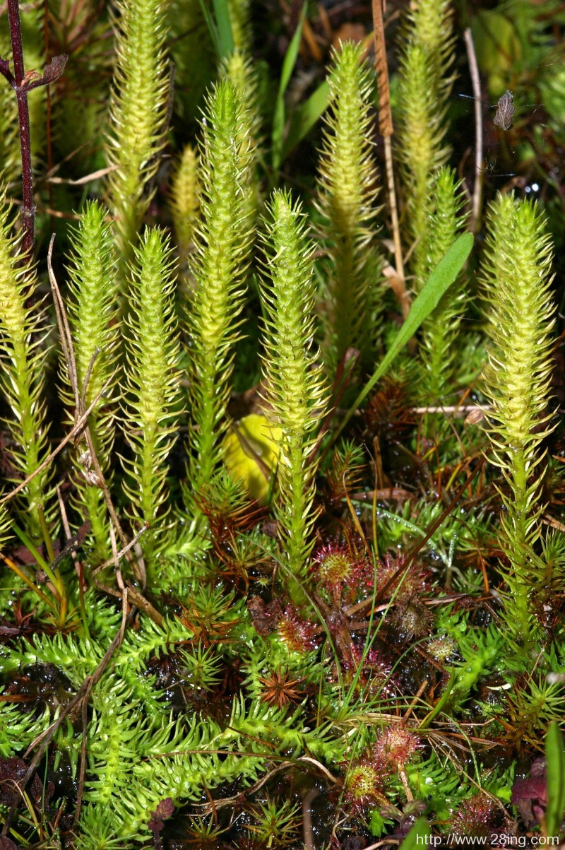 Difference Between Pteridophytes and Phanerogams   Pteridophytes vs Phanerogams