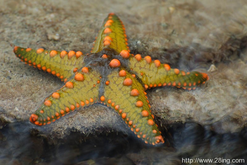 Difference Between Starfish and Brittle Star | Starfish vs Brittle Star